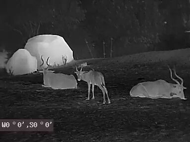 Horned animals on thermal image